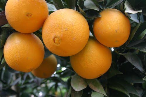پرتقال تامسون شمال |